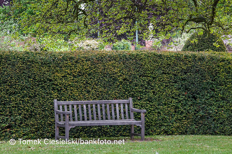 Classic wooden bench against the evergreen taxus baccata hedge