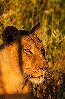 Female lion, Linyanti Marshes, Botswana.