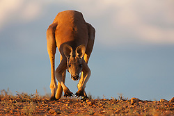 A red kangaroo (Macropus rufus)  hopping slowly down a hill in the golden light of sunset,  Sturt Stony Desert,  Australia