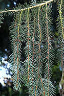 Brewer's (Weeping) Spruce Picea breweriana (Pinaceae) HEIGHT to 20m <br /> Markedly conical evergreen with a slender bole. BARK Grey-purple scaly bark. BRANCHES With pale brownish or pink, downy twigs. Note the striking 'weeping' habit of shoots along branches. LEAVES Flattened, needle-like, and sharply pointed to 3cm long, green above with white bands below; grow all round shoot and often curve forwards. REPRODUCTIVE PARTS Male flowers are large for a spruce, to 2cm across, and reddish; female cones are pendent, cylindrical, to 12cm long, starting purplish but ripening brown. Overlapping scales have blunt, rounded tips. STATUS AND DISTRIBUTION Native to W USA. Popularly planted in our region and graceful in maturity.
