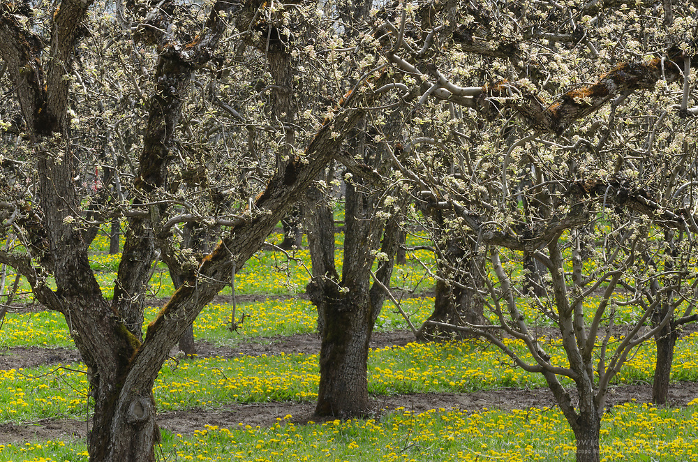 Orchards, Hood river Oregon