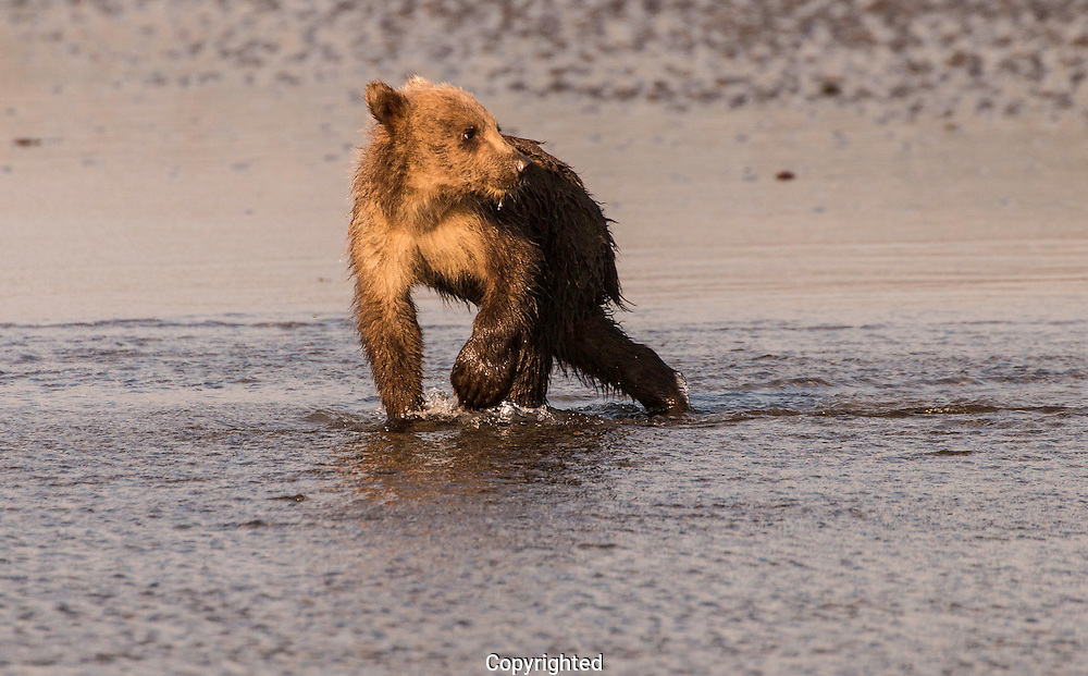 Grizzly Bear Cubs At Play and On the Loose in Lake Clark National Park Alaska