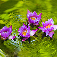 Lotus flower on reflecting pond / it001