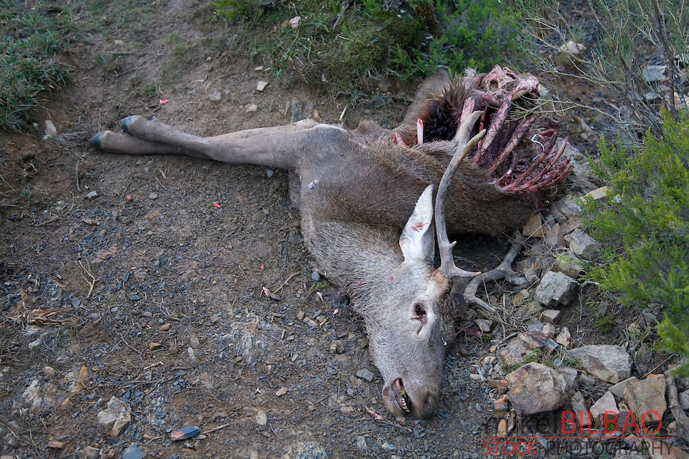 Red deer cadaver (Cervus elaphus).<br /> Fuentes Carrionas y Fuente del Cobre Natural Park..Palencia, Castile and Leon, Spain, Europe.