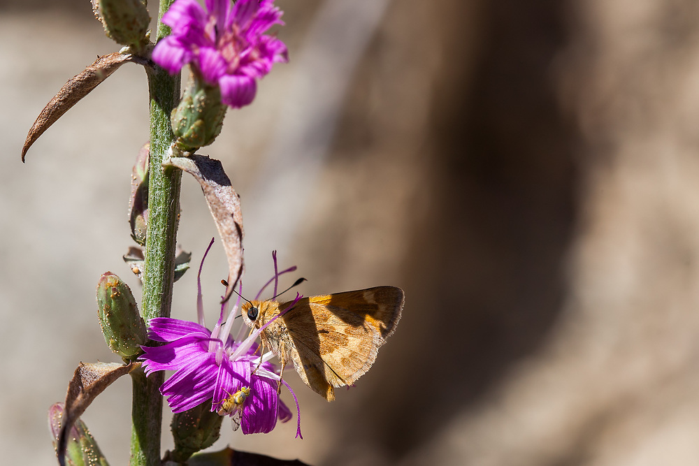 Ochlodes sylvanoides (Woodland Skipper) ♀ at Grizzly Flat, Los Angeles Co, CA, USA, on 24-Sep-17