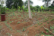 Some vegetables growing in the vegetable garden at Kitovu Hospital, Uganda.<br /> <br /> This garden is run by the fistula patients but due to the fact these only happen a few times a year the garden is often left untended.<br /> <br /> Th gardening helps in their recovery and provides fresh fruit and vegetables for the patients.