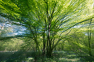 Ancient coppiced Hornbeam - Carpinus betulus, Stoke Woods, Bicester, Oxfordshire owned by the Woodland Trust