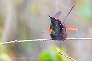 Wild Male  Ruby Topaz Hummingbird, Chrysolampis mosquitus, photographed in the rain in Trinidad.