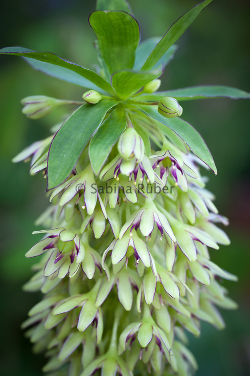 Eucomis bicolor - two-coloured pineapple lily
