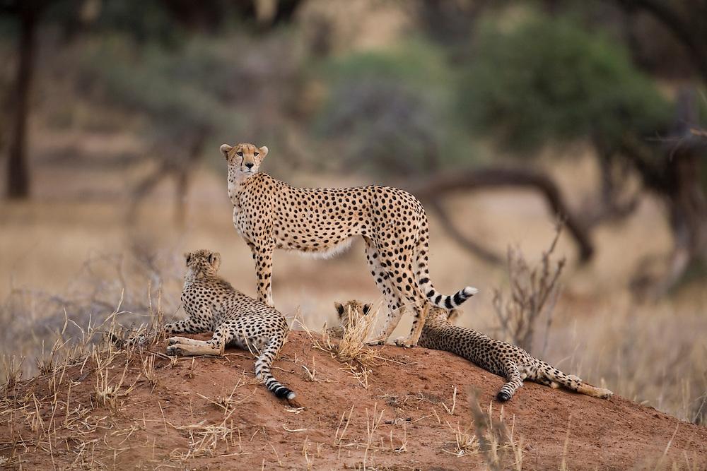 Africa, Tanzania, Tarangire National Park, Cheetah (Acinonyx jubatas) with cubs standing on low mound at dusk
