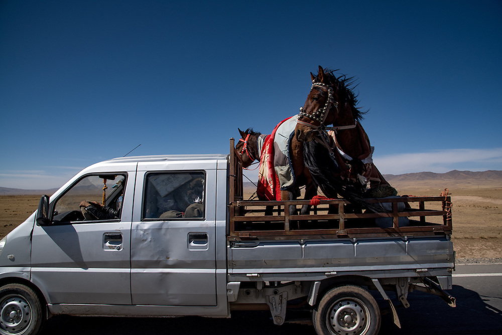 Horses are transported in the back of a pickup truck in Golok region, Tibet (Qinghai, China).