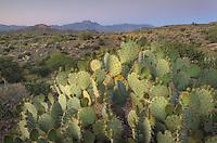 Engelmann prickly pear cactus (Opuntia engelmannii),Superstition Mountains Arizona