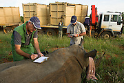 White Rhinoceros (Ceratotherium simum) darted for relocation. With Conservation Solutions Kester Vickery &amp; Vet Andre Uys inserting micro chip into horn<br /> Private Game Reserve<br /> SOUTH AFRICA<br /> RANGE: Southern &amp; East Africa<br /> ENDANGERED SPECIES