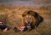 Lion on kill, a wildebeest. Ngorongoro Crater, Tanzania.