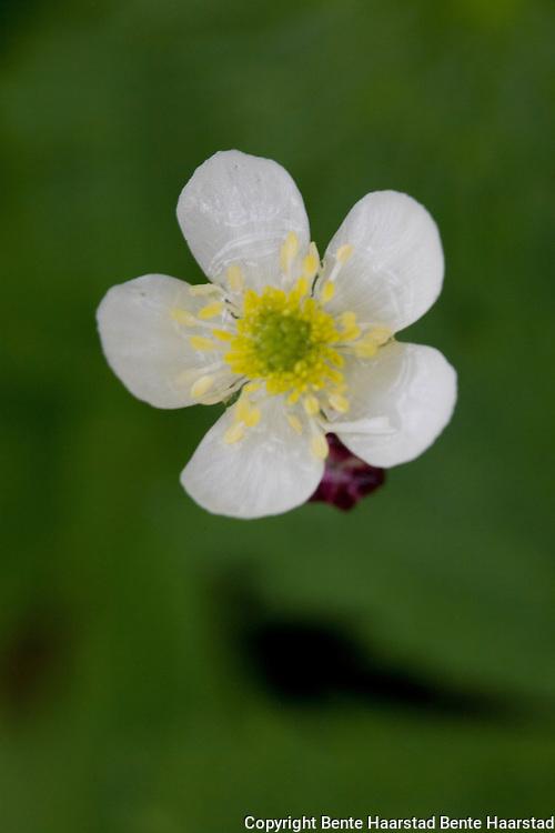 Hvitsoleie, Ranunculus platanifolius. Large White Buttercup. Høystaude i fjellbjørkeskogen ved Stugusjøen i Tydal.