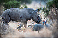 White Rhino calf playing with helmeted guineafowl, Pilanesberg National Park, North West, South Africa