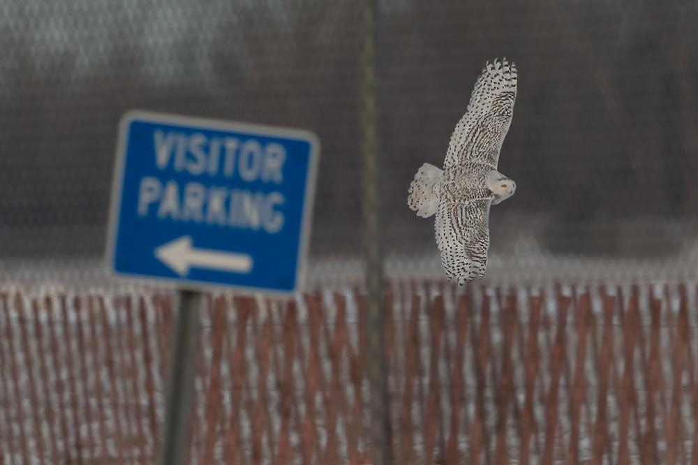 Snowy Owl NY State Police HQ Syracuse NY