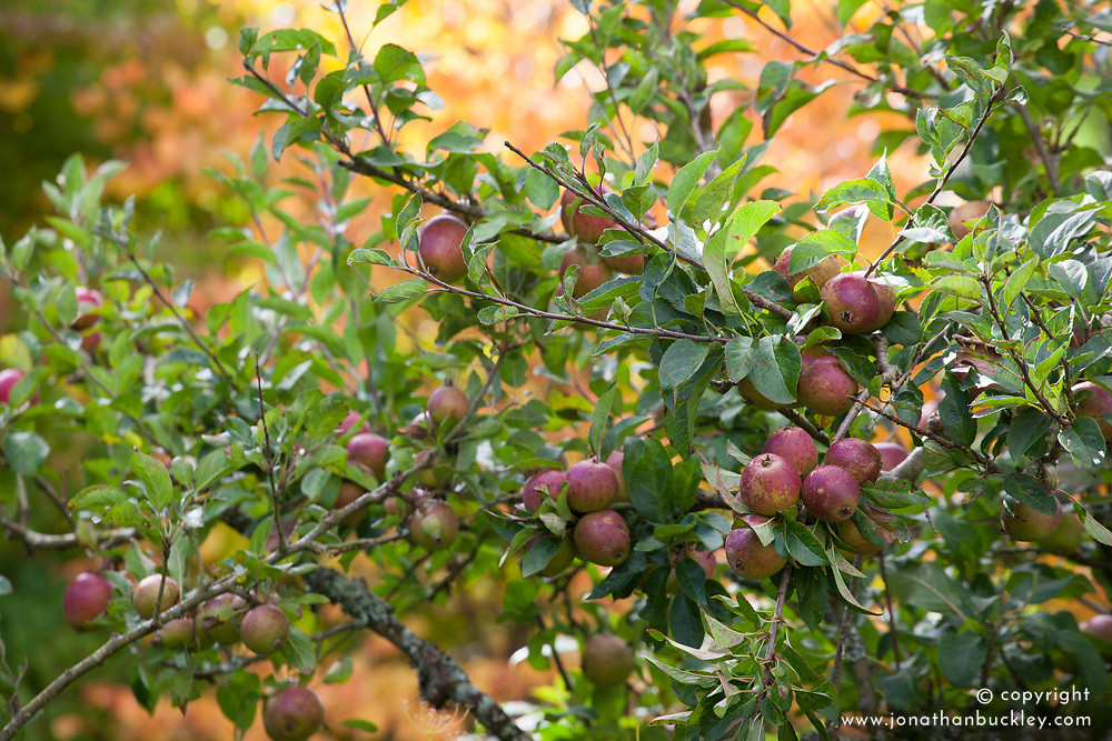 Apples on the tree in Annie's garden at Glebe Cottage in autumn