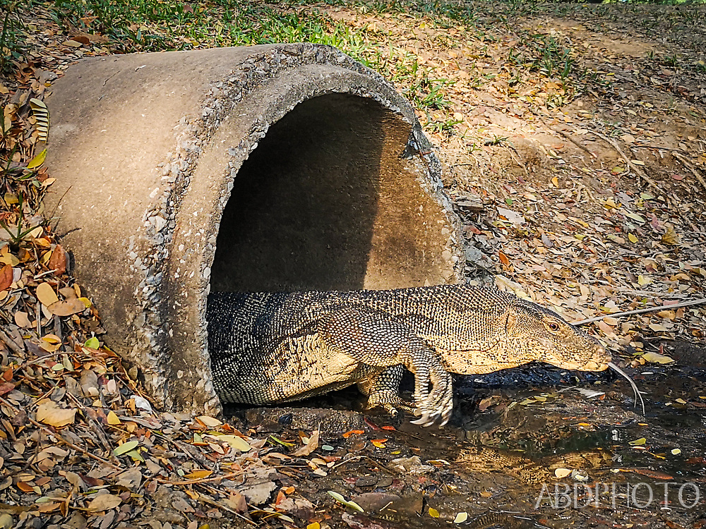 cof Asian water monitor lizard in sewer outlet Lumphini Park in Bangkok Thailand