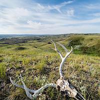 winter kill mule deer skull on prairie, montana