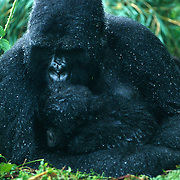 Mountain Gorilla (Gorilla beringei beringei) <br />
