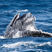 Male humpback whale calf (Megaptera novaeangliae) opening his mouth at the surface while playing. His baleen is clearly visible. This opening of mouth behaviour by calves is often associated with periods of play following nursing.