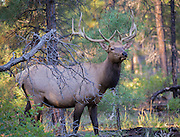 Bull elk, Grand Canyon National Park, South Rim