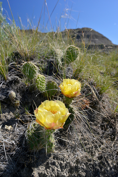 Prickly Pear Cactus in flower - Opuntia polyacantha