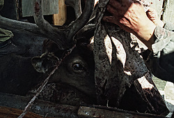 A deer stands in the machine for cutting antlers on a deer-farm in the Altai (eastern Siberia) village of Mendur-Sokon, Russia, 23 July 2001. Local population traditionally sell pants (the young, just grown antlers of a deer) to farmacilogical factories, which produce extremely effective biological active medicine Pantacrin with high tonic effect. The antlers are sold by local people for about $150 per kilo, which cost up to $500 on Asian markets..