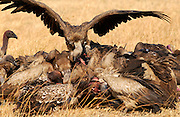 Lappet Faced Vultures feasting on an animal carcass, Grumet, Tanzania, East Africa