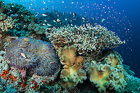 Reef Slope with Hard and Soft Corals, Pink Anemonefishes..Shot in Indonesia..