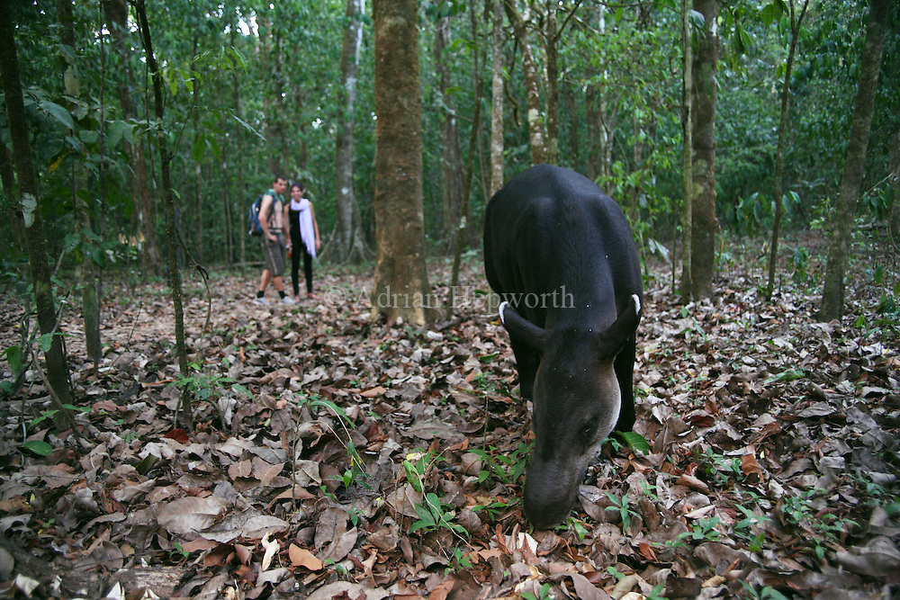 Tourists watching a Bairds Tapir (Tapirus bairdii) feeding in rainforest. Corcovado National Park, Osa Peninsula, Costa Rica. <br />
