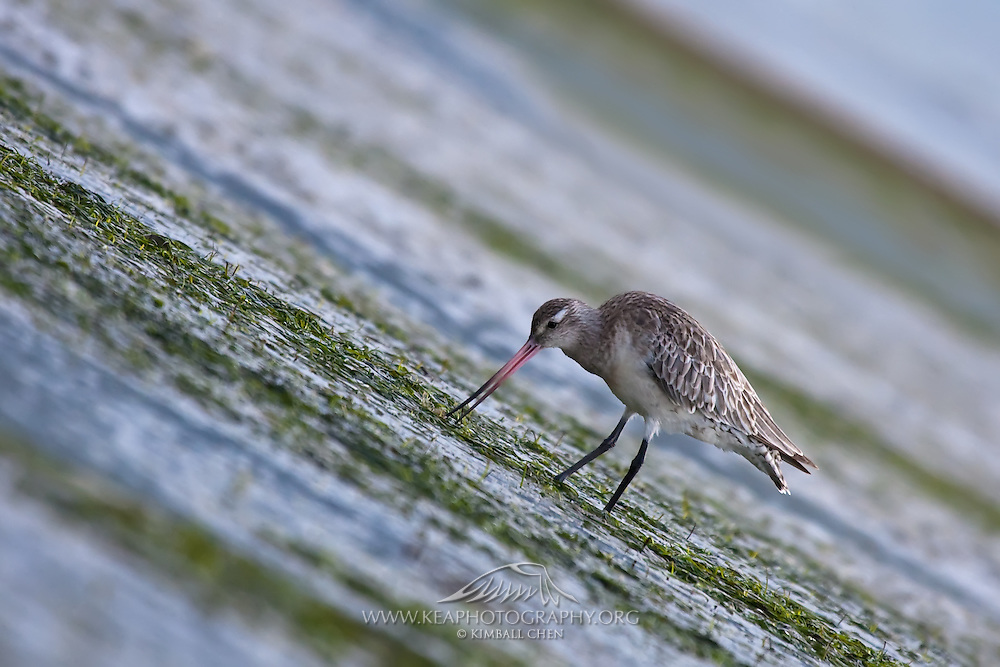 Bar-tailed Godwit, Otago Peninsula, New Zealand