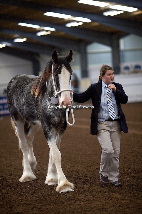 North West and Wales Shire Foal Society Show 2012<br /> Miss C Young's Blue Roan Clydesdale Foal  <br /> f 21/05/11   Sire  Bratlach Lord of the Ring<br /> Dam   Bratlach Duchess<br /> Reserve Champion Clydesdale