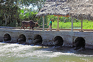 Man leading a bullock over a river in Granma Province, Cuba.