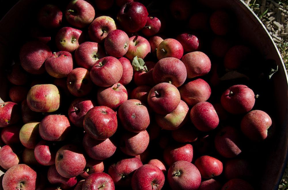 The autumn tradion of apple cidar pressing, Durango, CO.