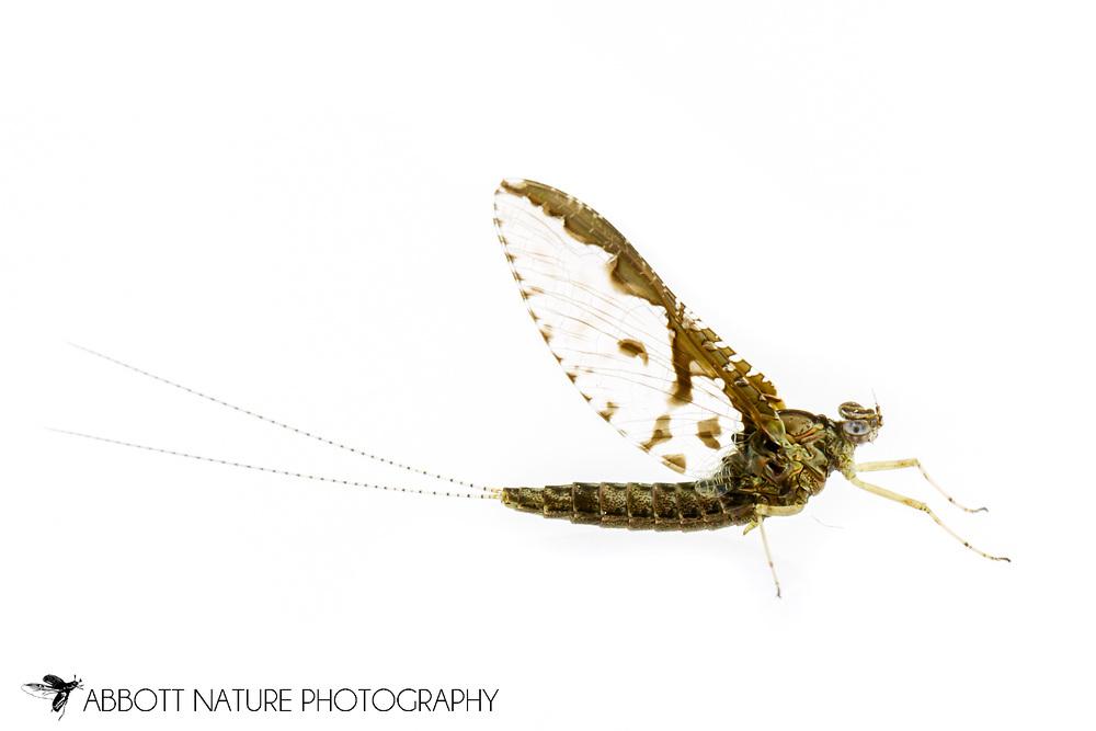 Small Minnow Mayfly (Callibaetis pretiosus)<br /> United States: Alabama: Tuscaloosa Co.<br /> Tulip Tree Springs off Echola Rd.; Elrod<br /> 15-Mar-2017<br /> J.C. Abbott #2902