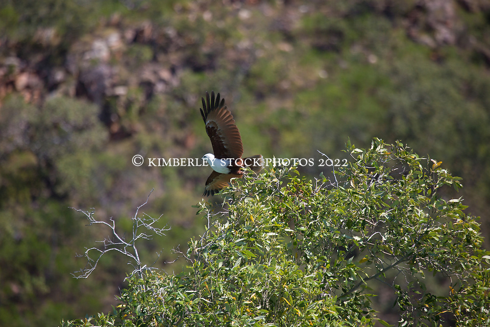 A Brahminy Kite (Haliastur indus) leaves her nest in Dugong Bay on the Kimberley coast.