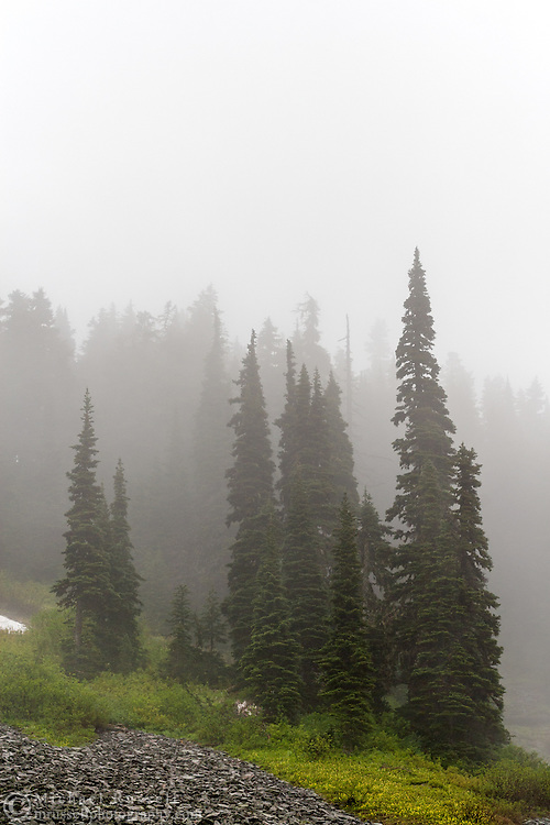 Subalpine Firs (Abies lasiocarpa) in a foggy Paradise Valley in Mount Rainier National Park, Washington State, USA
