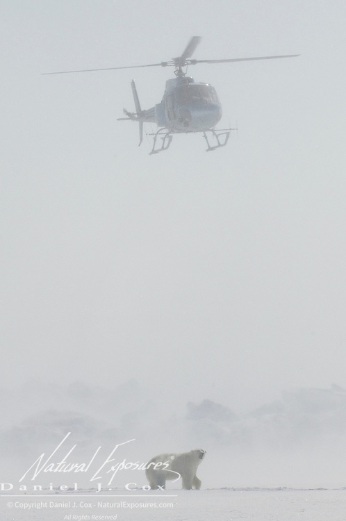 Dr. Steve Amstrup, USGS biologist, and chopper pilot Doc Gohmert hover over a polar bear (Ursus maritimus) recently darted with immobilizing drugs. Beaufort Sea ice pack, Kaktovik, Alaska