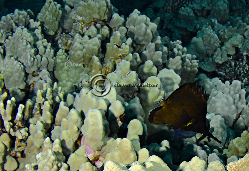 Common Longnose Butterflyfish, Forcipiger flavissimus,  lauwiliwilinukunukuoioi, Jordan & Evermann, 1898, KonaHawaii