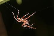 Lynx spider (Hamadruas sp.) from Tanjung Puting National Park, Kalimantan, Borneo.