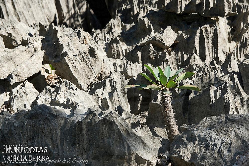 Statut IUCN : Critically endangered, endémique de L'Ankarana