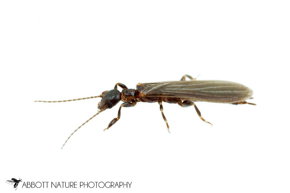 Black Webspinner (Oligotoma nigra)<br /> TEXAS: Hays Co.<br /> Dripping Springs<br /> 11-May-2016<br /> J.C. Abbott #2811