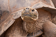 Portrait of a giant galapagos tortoise (Geochelone elephantopus) with a dome-shaped carapace . Darwin Center, Santa Cruz Island, Galapagos Archipelago - Ecuador.