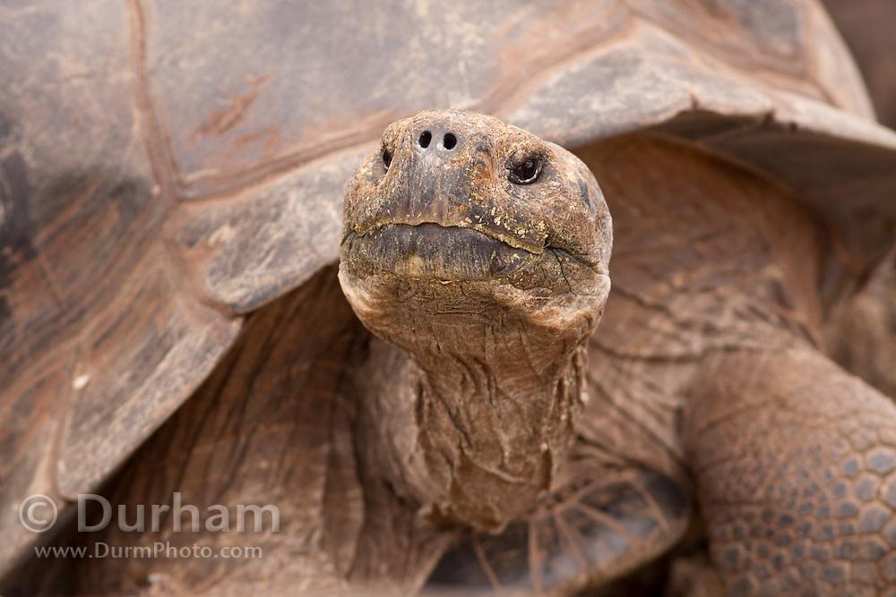 Portrait of a giant galapagos tortoise (Geochelone elephantopus) with a dome-shaped carapace . Darwin Center, Santa Cruz Island, Galapagos Archipelago - Ecuador.