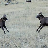 Bighorn sheep rut, near Gardiner Montana, Yellowstone National Park.