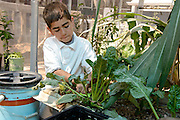 Manzo Elementary School 5th grader, Michael Perez, 10, work in the school's organic garden, Tucson, Arizona, USA.  The school was the first in TUSD to be certified for garden to cafeteria food consumption and first in the state of Arizona for rainwater harvesting and composting. The  garden projects in the district work with internationally known Biosphere2 and the University of Arizona. The garden was built in conjunction with the National Park Foundation's First Bloom program. The project is supported in part by a USDA Farm-to-School grant.  Named Best Green School 2012 by the U.S. Green Building Council, Manzo is the only K-5 public school in the United States to receive that honor in response to their environmental initiatives.