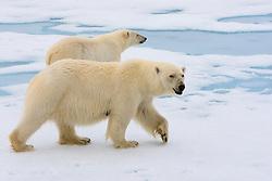 Polar Bear (Ursus maritimus) female with one cub in the drifting ice in Spitsbergen, Svalbard