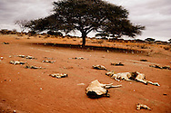 Døde køer og geder ligger sprædt ud over landskabet på den røde jord. De er alle bukket under for tørken.